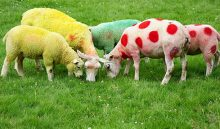 7308430-tour-de-france-sheep-gang-of-sheep-in-a-huddle-c